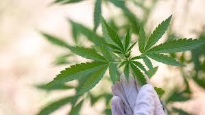 Cannabis Oil - Italia - sito ufficiale  - originale